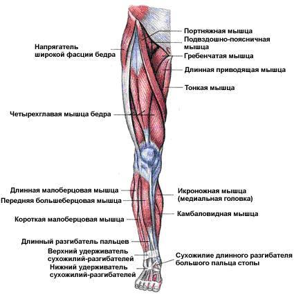 Трехглавая и двуглавая мышца